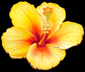 гибискус желтый