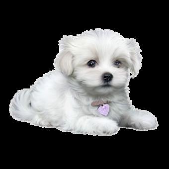 щенок белый