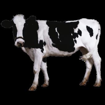 корова черно-белая