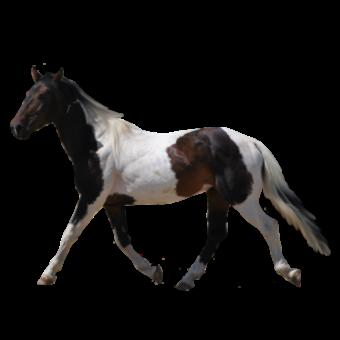лошадь черно-белая