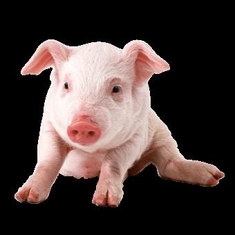 свинья маленькая